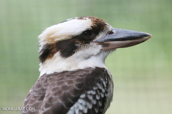 Kookaburra [australia_fnq_0983]