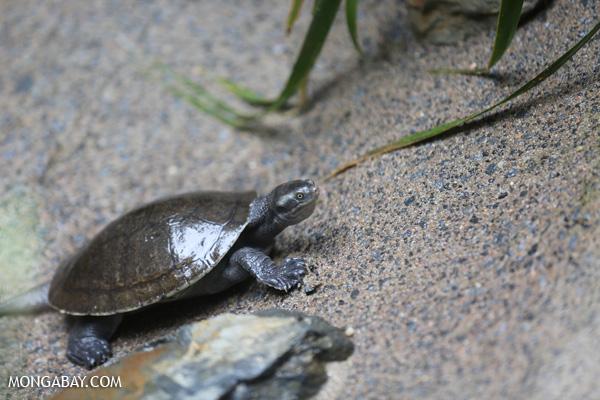 Turtle [australia_fnq_0989]