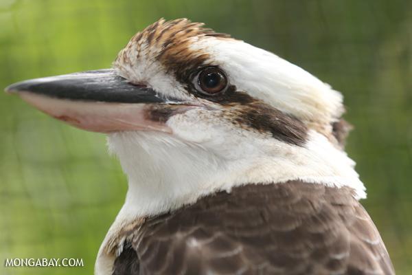 Kookaburra [australia_fnq_0998]