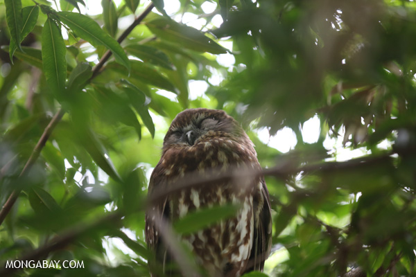 Lesser sooty owl [australia_fnq_1002]