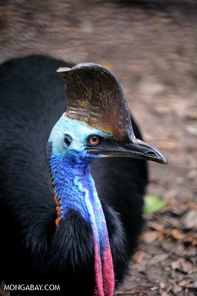 Golden-necked cassowary [australia_fnq_1013]