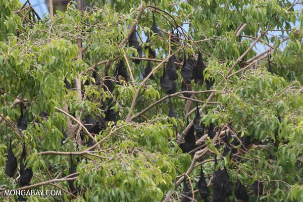 Flying fox colony [australia_fnq_1134]