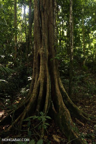 Australian rainforest tree [australia_mossman_gorge_009]