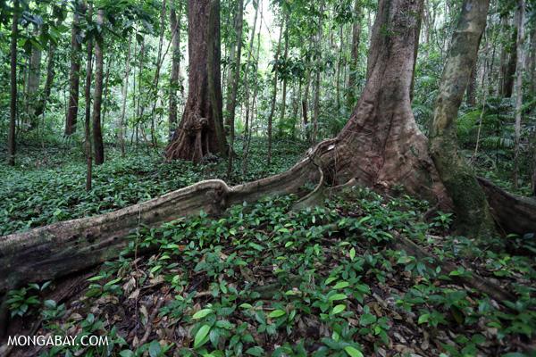 Daintree rainforest [australia_mossman_gorge_072]