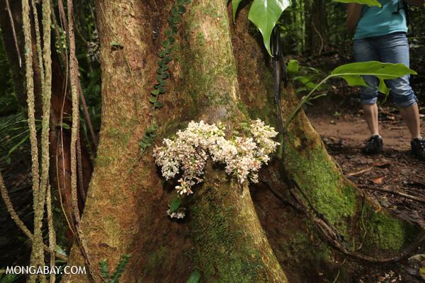 White cauliflorous plant [australia_mossman_gorge_082]