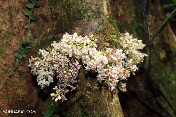 White cauliflorous plant