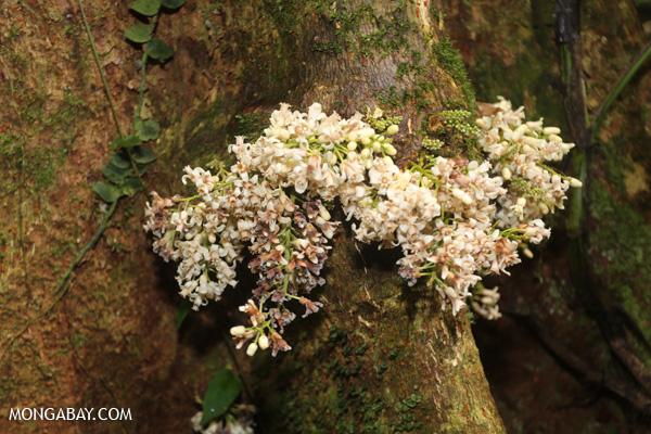 White cauliflorous plant [australia_mossman_gorge_084]