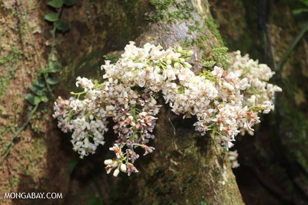 White cauliflorous plant [australia_mossman_gorge_085]