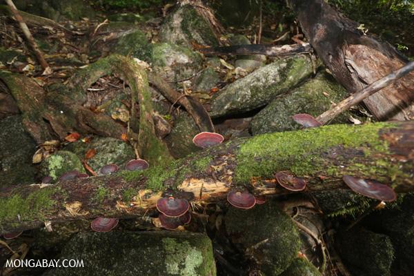 Fungi [australia_mossman_gorge_154]