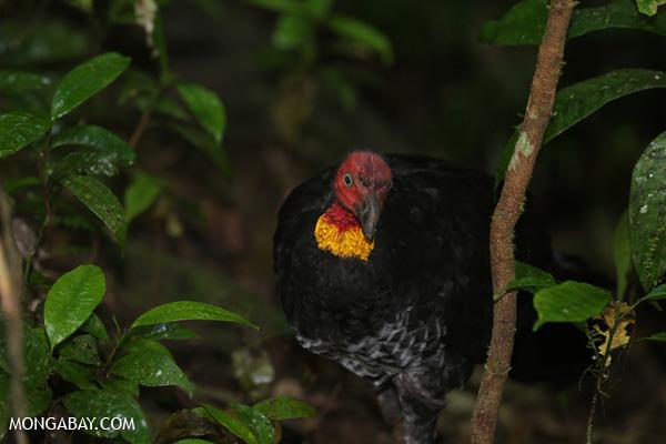 Australian scrub turkey [australia_mossman_gorge_178]