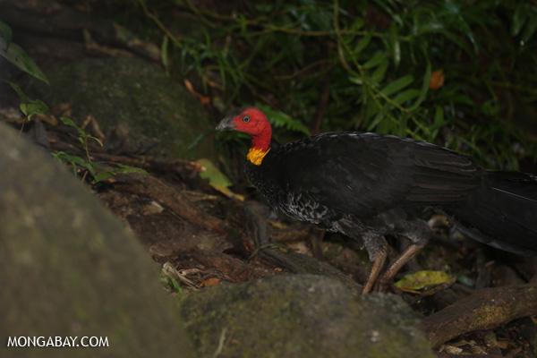 Australian scrub turkey (Alectura lathami) [australia_mossman_gorge_181]
