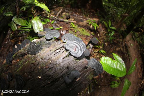 Fungi [australia_mossman_gorge_214]