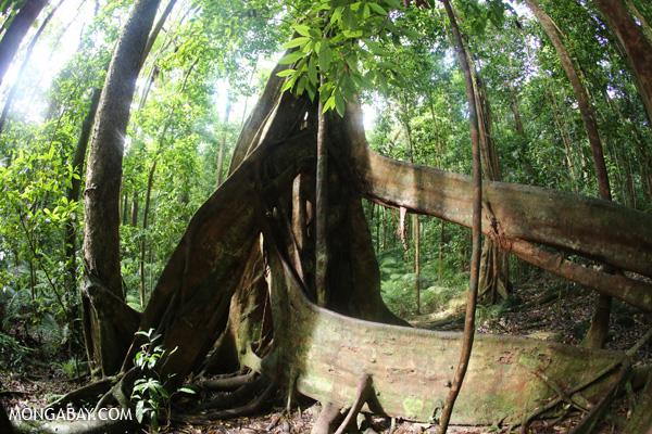 Giant strangler fig [australia_mossman_gorge_235]