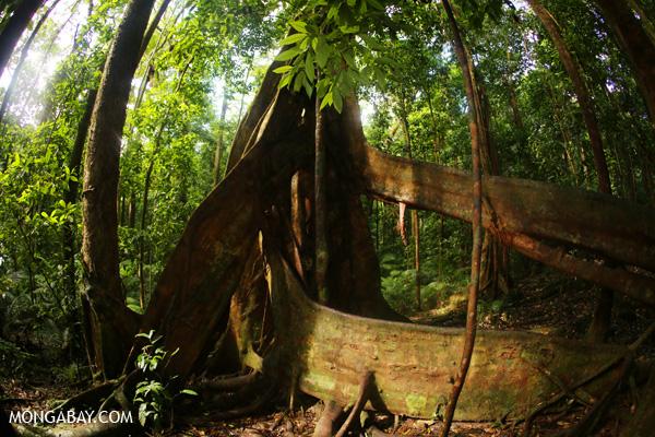 Giant strangler fig [australia_mossman_gorge_239]