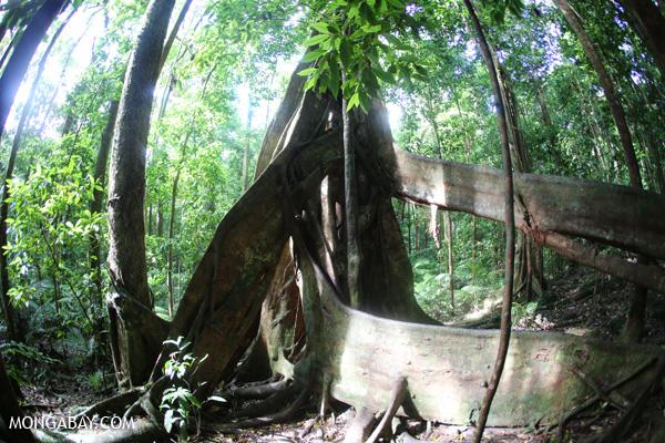 Giant strangler fig [australia_mossman_gorge_243]