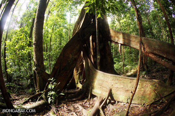 Giant strangler fig [australia_mossman_gorge_245]
