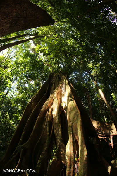Giant strangler fig [australia_mossman_gorge_251]