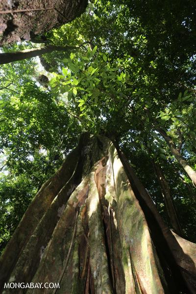 Giant strangler fig [australia_mossman_gorge_255]