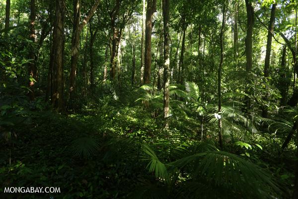 Daintree rainforest in Mossman Gorge [australia_mossman_gorge_287]