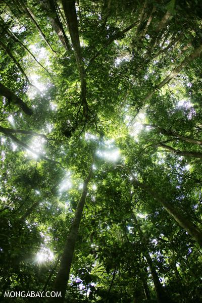 Rainforest canopy in Mossman Gorge [australia_mossman_gorge_322]