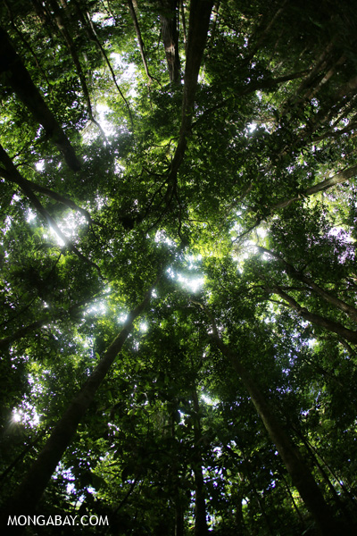 Rainforest canopy in Mossman Gorge [australia_mossman_gorge_324]