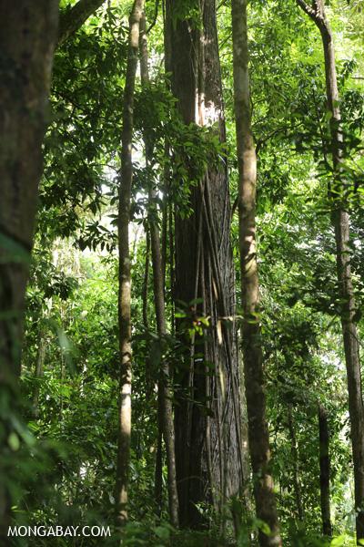 Roots of a strangler fig [australia_mossman_gorge_326]