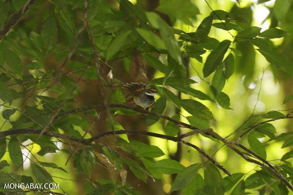 Bird [australia_mossman_gorge_328]