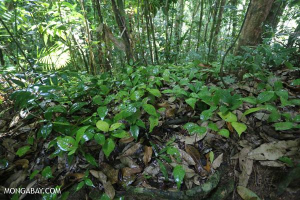 Rainforest seedlings