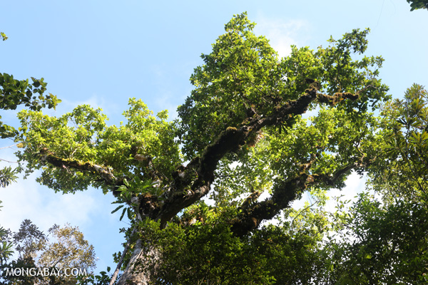 Rainforest tree [australia_mossman_gorge_349]
