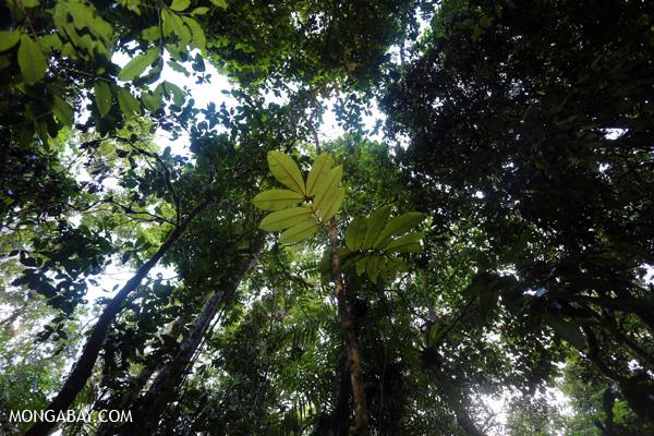 Sapling emerging from the rainforest floor [australia_mossman_gorge_408]