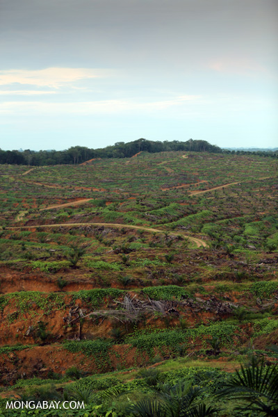 Replanting an oil palm plantation