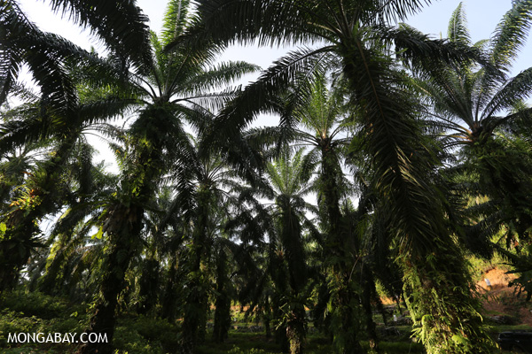 Canopy of an oil palm plantation