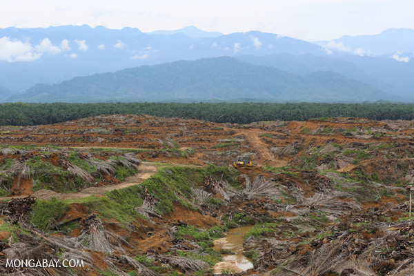 Oil palm plantation in the process of being replanted