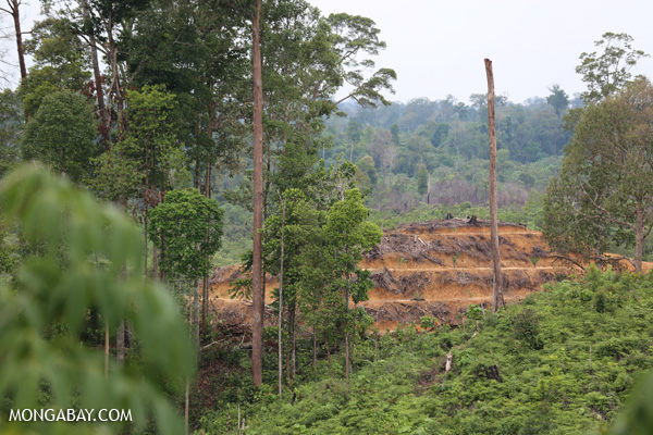 Clearing for a new oil palm plantation