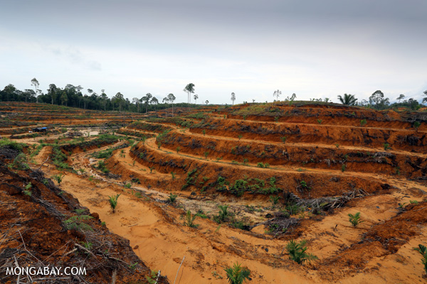 Newly planted oil palm plantation in Aceh Sumatra Indonesia. Photo by Rhett A. Butler.