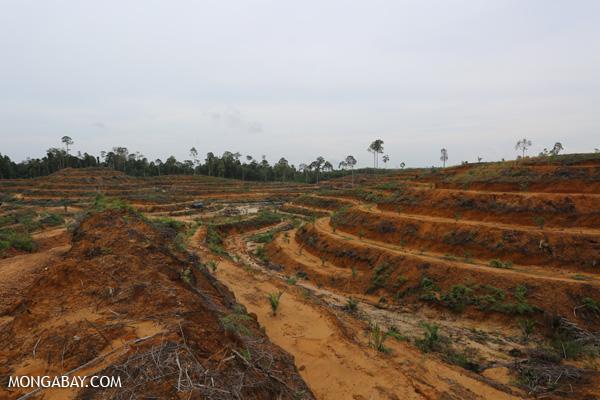 Newly planted oil palm plantation