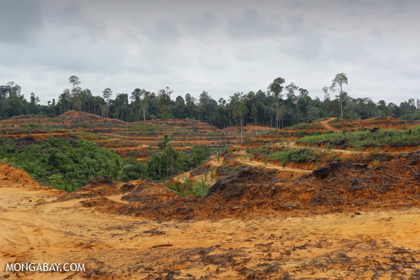 Newly planted oil palm plantation