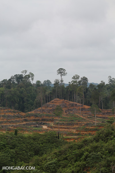Freshly cleared forest for palm oil