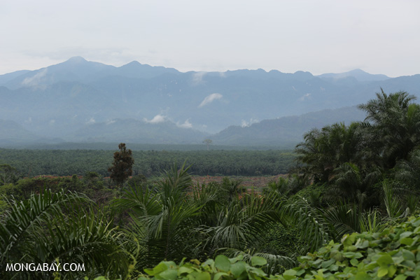 Oil palm plantation owned by a Belgian company