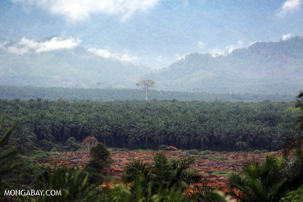 Oil palm plantation outside Aceh Tamiang