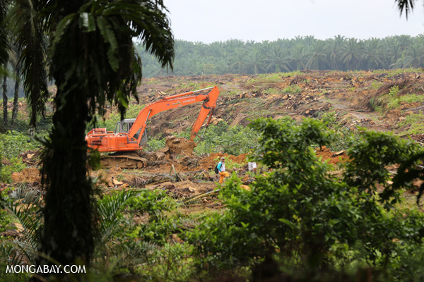 Excavator preparing to replant on oil palm plantation in Sumatra..