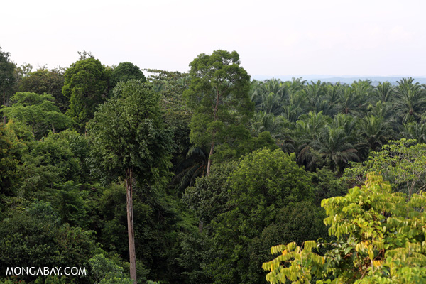 Rainforest and oil palm in Sumatra