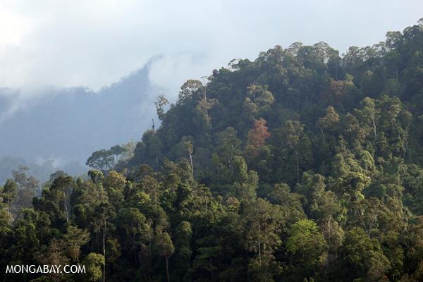 Rainforest in the Gunung Leuser ecosystem