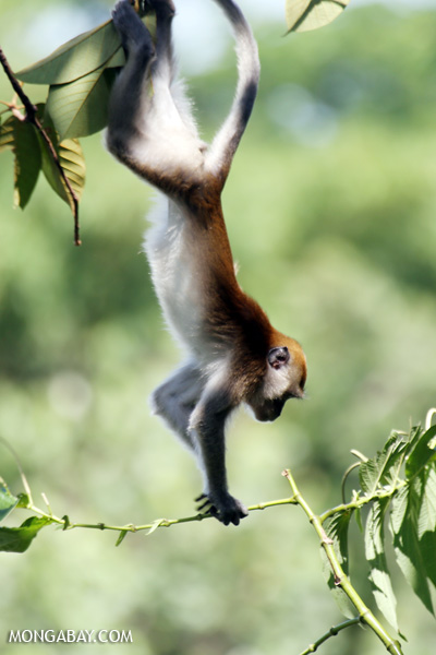 Long-tailed macaque in Sumatra