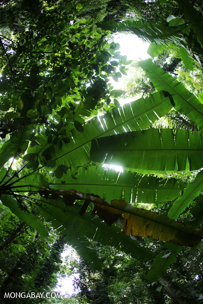 Banana leaves and the rainforest canopy