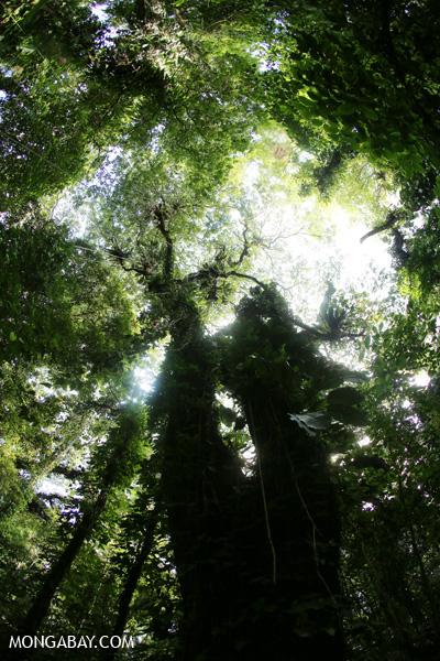 Rainforest canopy in Sumatra