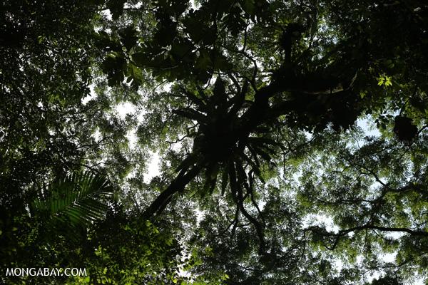 Epiphytes in the Sumatran rainforest