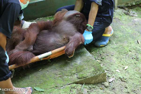 Relocating an adult male orangutan