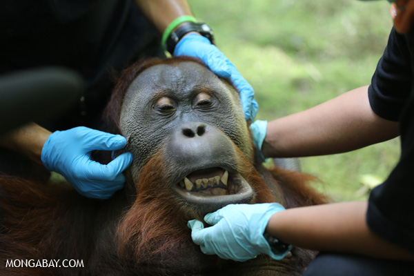 Giving an adult male orangutan a health check