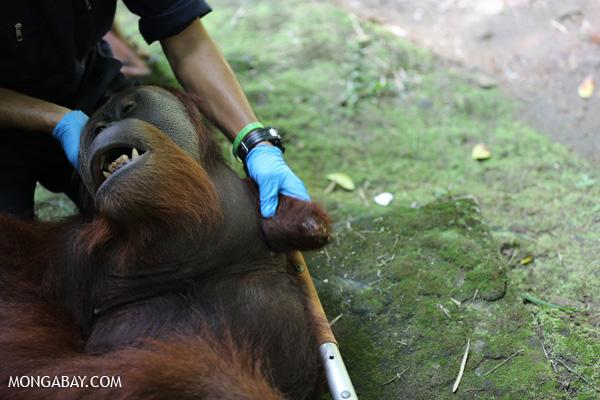 A male orangutan that has lost its arm